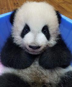 "8,925 次赞、 71 条评论 - Panda Vibes (@panda_vibes) 在 Instagram 发布:""Who has been a good boi?? """