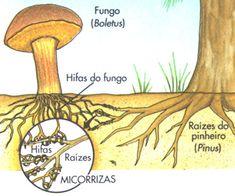 .:: Reino Fungi - Só Biologia ::.