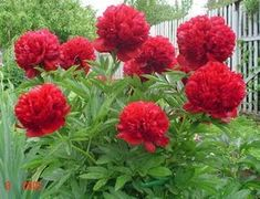 Rare Crimson Red Tree Peony Flower Seeds, 5 Seeds, light fragrant garden flowers for home decor-Land Miracle Flower Pots, Plants, Beautiful Flowers, Fragrant Garden, Perennials, Trees To Plant, Flowers, Peony Flower, Flower Seeds