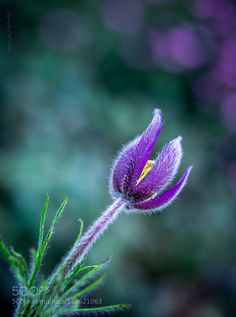 Pulsatilla by edithnero #nature #photooftheday #amazing #picoftheday
