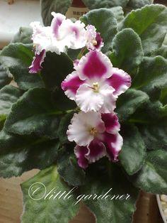 African violet: Saintpaulia 'White-Bordeaux' [Family: Gesnariaceae]