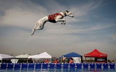 World record holder 'Cochiti' the Whippet leaps into the water to record the distance of his jump during the Dock Dogs West Coast Challenge in Bakersfield, California. The current world record is 31 feet (9.4 meters).