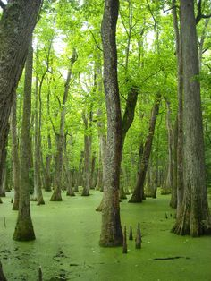 travelingcolors:    Green swamp, Pearl River | Mississippi (by rainchurch) http://www.pinterest.com/halinalis/breathtaking-view/