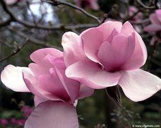 "Magnolia x ""IOLANTHE"" - Havlis.cz"