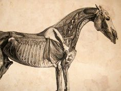 anatomy of horse - Google Search