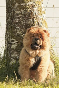 "Chow Chow Puppy Dog Puppies Hound Dogs Songshi Quan (Pinyin: sōngshī quǎn 鬆獅犬), which means ""puffy-lion dog""."