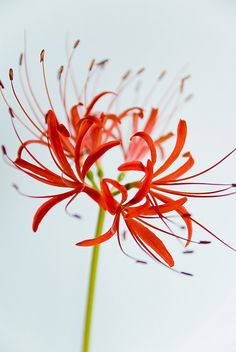 Lycoris radiata (red spider lily), the flower seen in Kaneki's subconscious in Tokyo Ghoul, Aogiri arc All Flowers, Amazing Flowers, My Flower, Beautiful Flowers, Tokyo Ghoul Flower, Red Spider Lily, Red Bouquet Wedding, Arte Floral, Flower Wallpaper