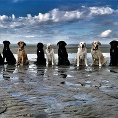 That's talent, keeping all those labbies out of the water for a group shot…