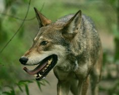 Red WolfCredit: Steve, Hillebrand | U.S. Fish and Wildlife Service	The red wolf (Canis rufus), was once common throughout the Southeastern United States. Due to aggressive predator control programs and the clearing of forests, the red wolf has become one of the most endangered animals in the world. Thanks to conservation efforts, it is now found in northeastern North Carolina.