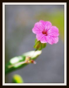 Little Pink Dandelion, Flowers, Plants, Pink, Dandelions, Plant, Taraxacum Officinale, Royal Icing Flowers, Pink Hair