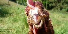 Ce que la science nous dit des sentiments des animaux de ferme | BLOG L214