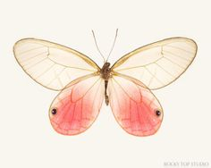 Pink Glasswing Butterfly Print by Allison Trentelman | rockytopstudio.com