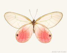 Pink Glasswing Butterfly Print by Allison Trentelman | rockytopstudio.com