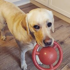 Homeoffice. Ablenkung. 🧡  #agenturhund #labradorretriever #agenturleben #agenturalltag Labrador Retriever, Sports, Life, Labrador Retrievers, Hs Sports, Labrador, Sport, Labrador Retriever Dog