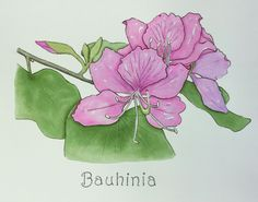 Bauhinia (orchid tree) in ink, watercolour and colour pencil
