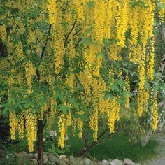 Golden Chain Tree        Magnificent when it blooms in late spring and early summer, golden chain tree produces hanging clusters to 2 feet long of yellow flowers that resemble wisteria. The dark green, fine-texture foliage is attractive, too.        Name: Laburnum x watereri        Size: To 25 feet tall and wide        Zones: 6-7