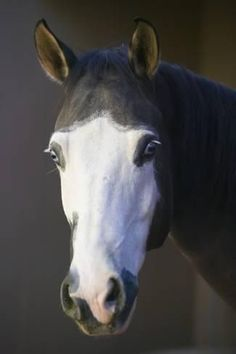 I prefer dark pigment and this horse has it in spades. Photographic Print: Quarter Horse by DLILLC : All The Pretty Horses, Beautiful Horses, Animals Beautiful, Beautiful Eyes, Zebras, Animals And Pets, Cute Animals, Horse Markings, Majestic Horse