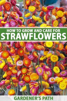 How to Grow Strawflowers and Everlasting Flowers Strawflower is a cutting garden annual that's perfe Cottage Garden Design, Cottage Garden Plants, Garden Soil, Garden Seeds, Cottage Gardens, Cut Flower Garden, Flower Farm, Flower Gardening, Cut Garden