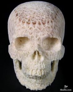 white coral covered skull is amazing  but look at those teeth