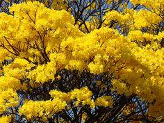 Araguaney (Tabebuia chrysantha) Arbol Nacional de Venezuela/ Venezuelan National Tree