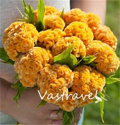 Giant Yellow Cockscomb Celosia 100 Seeds/ Bag Easy to Grow Excellent Bonsai Flower Reseeding Annual