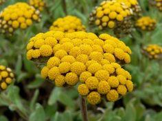 want: Helichrysum basalticum