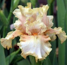 TB Iris germanica 'Impeccable Taste' (Ernst, 2000)
