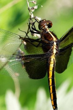 A pond is key if you want to give dragonflies a home in your garden. Make sure it gets plenty of sun, has areas of different depths and there's plenty of aquatic plants. Good insect hunting places, such as flowerbeds and hedgerows, are useful too  #homesfornature