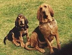 Bloodhounds...are so cute. I love their voices!