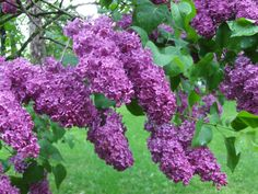Lilacs smell SO good!  dh :)