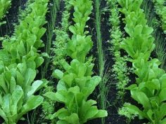 25 Gorgeous Plants That Grow in Shaded Area in Your Garden Cold Frame Gardening, Gardening Tips, Growing Horseradish, Hardening Off Seedlings, Growing Sweet Potatoes, Perennial Vegetables, Garden Boxes, Garden Ideas, Vegetable Garden Design