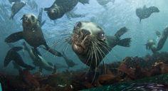 Seal Snorkeling | Animal Ocean