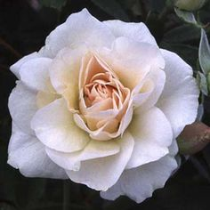 Photo: John and Louise Clements   thisoldhouse.com   Morden 'Blush' is a shrub-type rose with ivory and blush pointed double blooms
