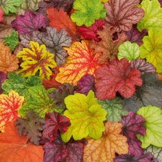 CORAL BELLS (Heuchera hybrids): Once you start collecting these shade loving…