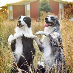 "Puppies Reenact Michael Jackson's 'Thriller' In a YouTube video that has gone viral this week, two midwestern border collies named Skye and Safir created what critics are calling a ""pitch-perfect rendition"" of Michael Jackson's iconic music video for ""Thriller."" Their version, which has already racked up 2.1 million views, has been watched slightly less than the nearly 200 million times that the official original version has on YouTube, but is ..."