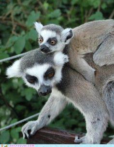 Albino Ring Tailed Lemur. | Albino Melanism Animals | Pinterest ...