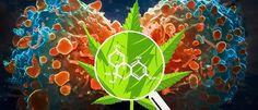 Cannabis Treatment for #Cancer - #MMJ - https://www.greenrushdaily.com/2016/08/22/cannabis-treatment-cancer/#utm_sguid=151367,b9f04a20-0a82-2551-3a5c-64fa42ee23c7