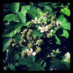 Happy black satin blackberries. Big, juicy, and perfect to grow if you have some space! #gardenchat