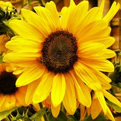 You can see a bee on the sunflower! Bees can pollinate plants while th @ Tyntesfield House (NT). Via @hrogerson