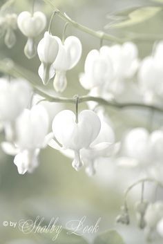 I've never seen an all white Bleeding Heart. I've never seen an all white Bleeding Heart. Amazing Flowers, My Flower, White Flowers, Flower Power, Beautiful Flowers, Fuchsia Flower, Heart Flower, Shade Garden, Garden Plants