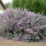 Texas Sage  Light: Full Sun  Height: 3′ – 8′  Spacing/Spread: 3′ – 6′  Evergreen: Yes.  Color: Purple-pink flowers, silver-gray foliage.