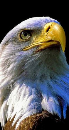 Eagle Images, Eagle Pictures, Eagle Wallpaper, Lion Wallpaper, Nature Animals, Animals And Pets, Beautiful Birds, Animals Beautiful, Types Of Eagles