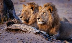 Brothers - Two young male Lions posing and taking in the morning light, Savuti, Chobe National Park, Botswana.