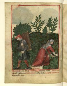Nouvelle acquisition latine 1673, fol. 27v, Récolte des choux. Tacuinum sanitatis, Milano or Pavie (Italy), 1390-1400.