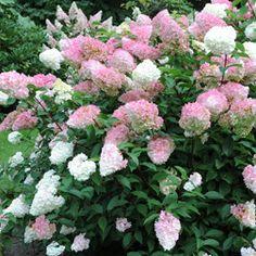 Hydrangea paniculata 'Vanille Fraise' (Large Plant) - Shrubs - Thompson & Morgan