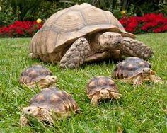 tortugas de tierra - Buscar con Google