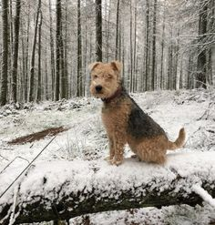 Lakeland Terrier Marnie enjoys the snow near Glamis along with owner Richard Hales