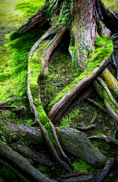 Moss-covered tree roots