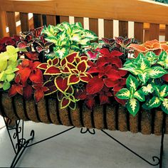 Find a sunny window sill, and Coleus plants will perform nicely indoors. Originating in Africa and Indonesia, exotic looking Coleus plants perform well as shade garden plants, in pots and containers, and in hanging baskets. Container Flowers, Container Plants, Container Gardening, Outdoor Plants, Outdoor Gardens, Front Gardens, Colorful Flowers, Beautiful Flowers, Beautiful Beds