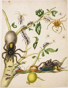 Watercolor guava tree (Psidium guajava), tarantula (Avicularia avicularia), the spider (Avicularia gen. Spec.), Wolf spider (Rhoicinus spec.), American cockroach (Periplaneta americana), leaf-cutting ants (Atta cephalotes ), tailor-ant (Oecophylla spec.), hummingbirds (Trochilidae gen. spec.). 1700–1702. Maria Sibylla Merian: Leningrader Aquarelle. Leipzig, 1974. Bd.2. S.235-237
